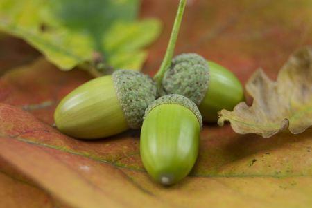 Three acorns on an autumn leaf background Stock Photo - 3647257
