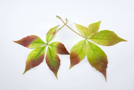 The changing colours of two autumn leaves Stock Photo - 3647256