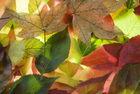 Colourful brightly lit collection of autumn leaves Stock Photo - 3647261
