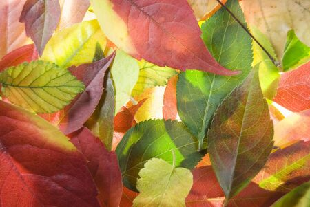 Colourful brightly lit collection of autumn leaves Stock Photo - 3647262