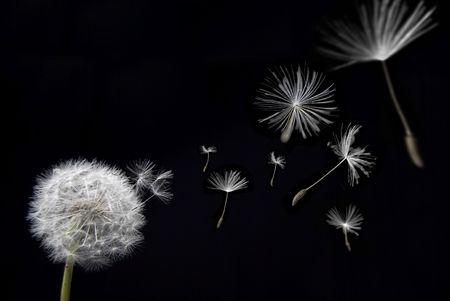 blowing dandelion: Un danelion con sementi baccelli galleggianti via in un gioco da ragazzi Archivio Fotografico