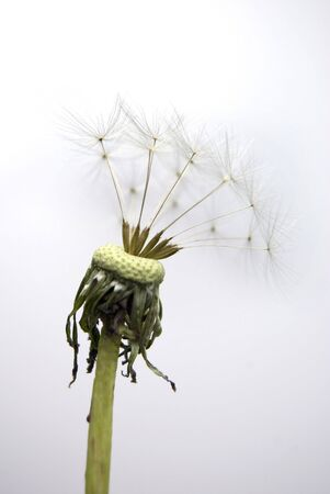Dandelion with one a few seeds left on a white background