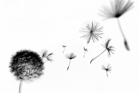 black seeds: Abstract dandelion with seeds floating away