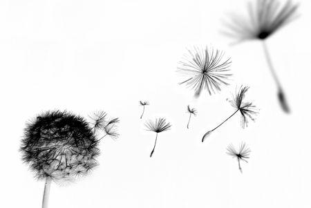 blowing dandelion: Abstract dente di leone con semi galleggiante lontano Archivio Fotografico