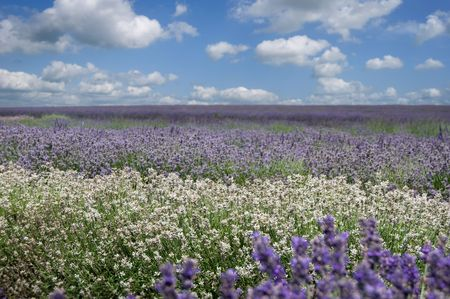 A field of various types of Lavender against a summers sky photo