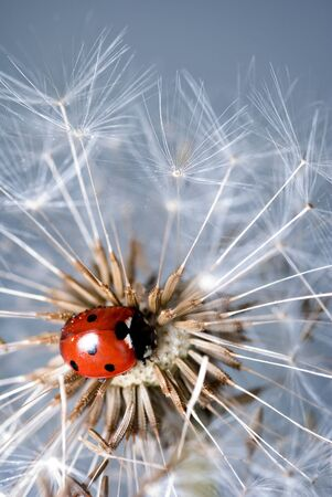 Ladybird crawling amongst a dandelions seed pods photo