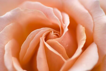 Macro picture of a fresh perfectly formed pink rose