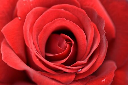 Marco picture of a perfectly formed red rose Stock Photo