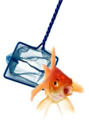 fish net: Goldfish being caught or perhaps escaping capture