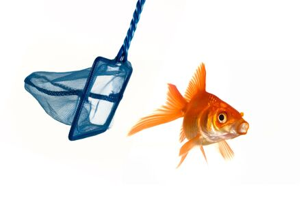Goldfish being caught or perhaps escaping capture