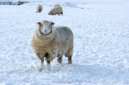 Snowy sheep on a cold winters day