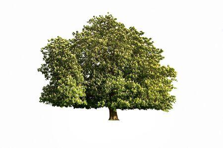 Una struttura ad albero isolato ippocastani in fiore