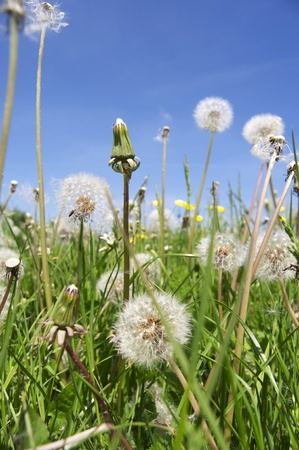 Many dandelions on a beautiful summers day Stock Photo - 9019862