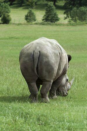 Rhino from the rear Stock Photo - 9019895