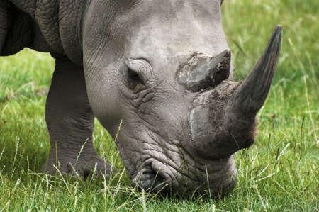 Rhinoceros feeding on field grass Stock Photo - 9019901