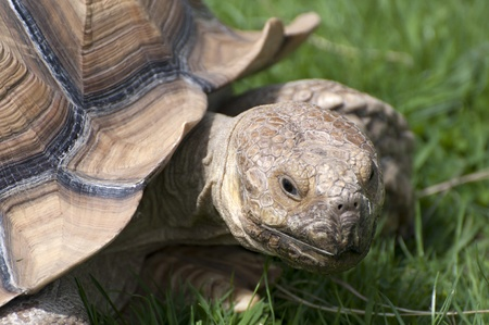 Portrait of a tortoise against a grass background Stock Photo - 9019894