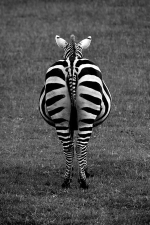 Black and white shot of a Zebra from the rear