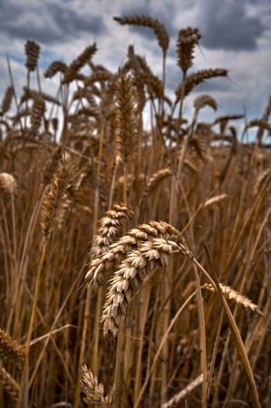 Dramatic sky wheat field landscape Stock Photo - 11505573