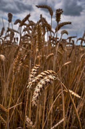 Dramatic sky wheat field landscape Stock Photo - 11505573
