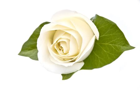A perfect white rose on an isolated background Stock Photo - 16260924