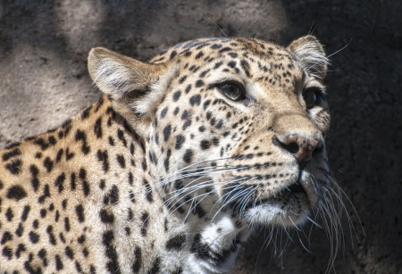 Portrait of a Leopard hunting for food