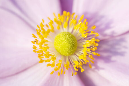 Anemone macro, pink flower with yelow stamens September Charm Stock Photo