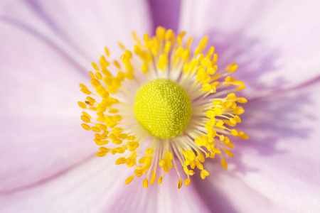 Anemone macro, pink flower with yellow stamens September Charm