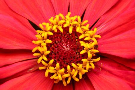 zinnia flower, flower in Thailand