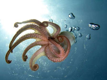 octopus: Pulpo en luz trasera. Disparo capturado en la naturaleza.  Foto de archivo