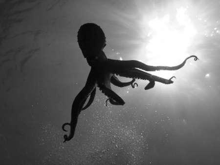 vulgaris: Octopus Vulgaris in back light (in Black and white). Stock Photo