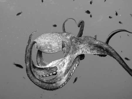 "limpid: Octopus ""Octopus Vulgaris"". Shot captured in the wild."