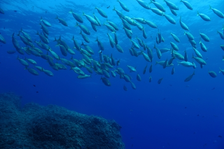 A shoal of  Sarpa Salpa fishes  Shot in the wild  photo
