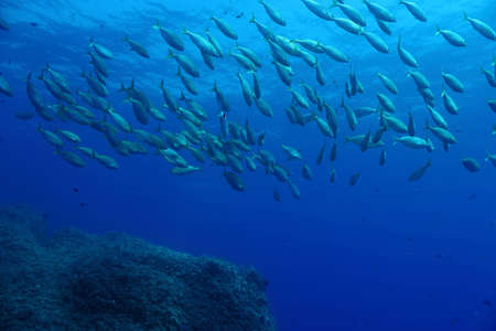 shoal: A shoal of  Sarpa Salpa fishes  Shot in the wild  Stock Photo