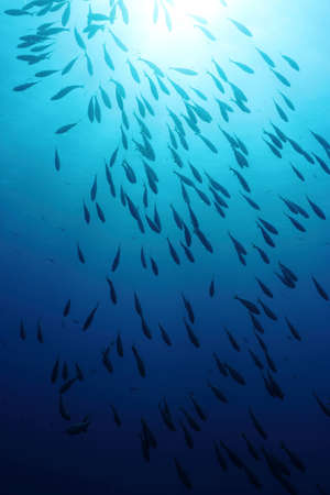 school of fish: A shoal of  Sarpa Salpa fishes in back-light  Stock Photo