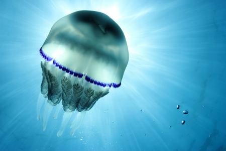 Jellyfish   Rhizostoma Pulmo  in back light  Shot in the wild  photo