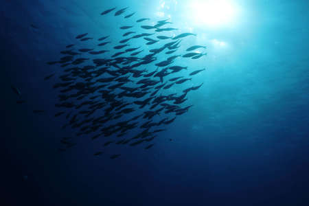 shoal: A shoal of  Sarpa Salpa fishes in back-light  Shot in the wild  Stock Photo