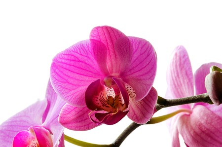 Purple orchid on a white background, beautiful and elegant. Stock Photo
