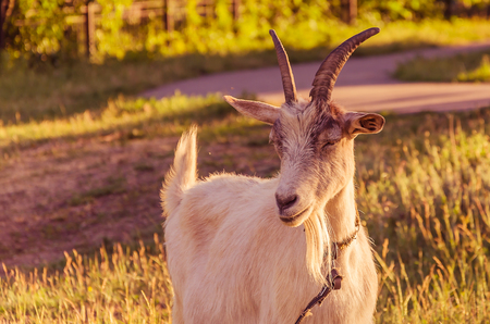 Interested goat walks in a meadow in a children's park