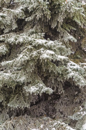 Winter, New Year, beautiful background. Charming green branches of a Christmas tree in the snow.