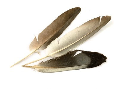 Beautiful pigeon feather floating in the air on a white background.