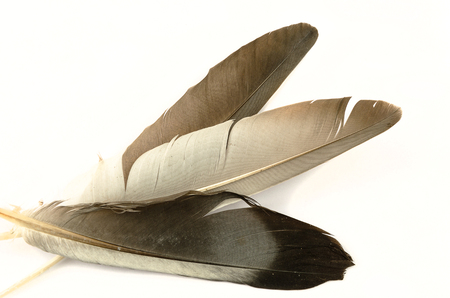 Beautiful pigeon feather floating in the air on a white background. 版權商用圖片