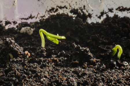 Green seedlings. New concept of life. Pepper began to grow.
