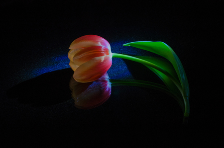 One red tulip on a black background with reflection. Stock Photo