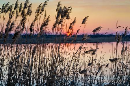 Reeds and evening golden sunset. Stock Photo