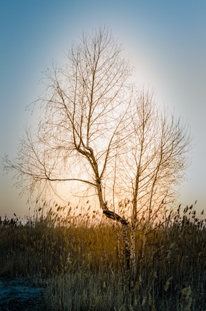 Lonely birch with a halo among the reeds.