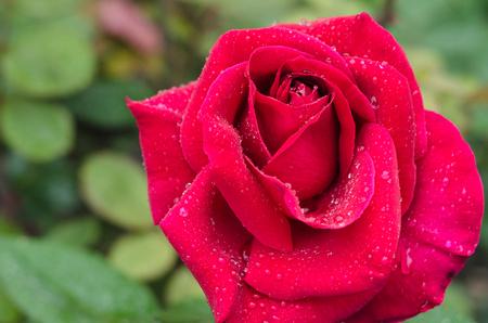 Charming roses close-up after summer rain.