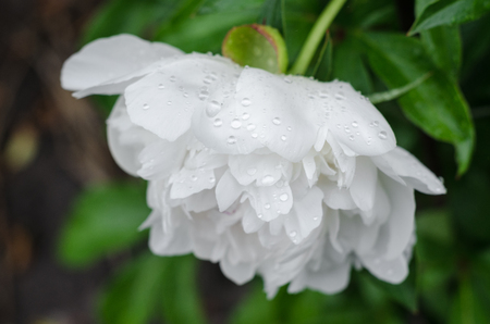 Large and luxurious peonies in the garden after the rain close-up.