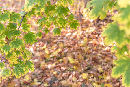Beautiful autumn background with maple leaves 版權商用圖片
