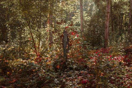 Sunbeams in the autumn forest. 版權商用圖片