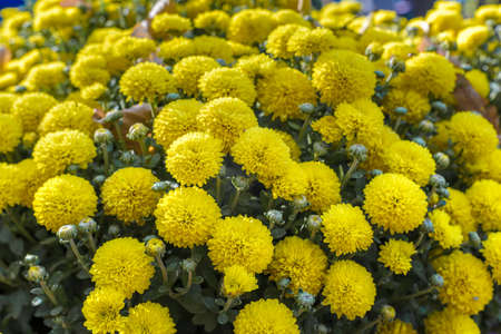 Natural floral background of chrysanthemums in sunny weather. 版權商用圖片